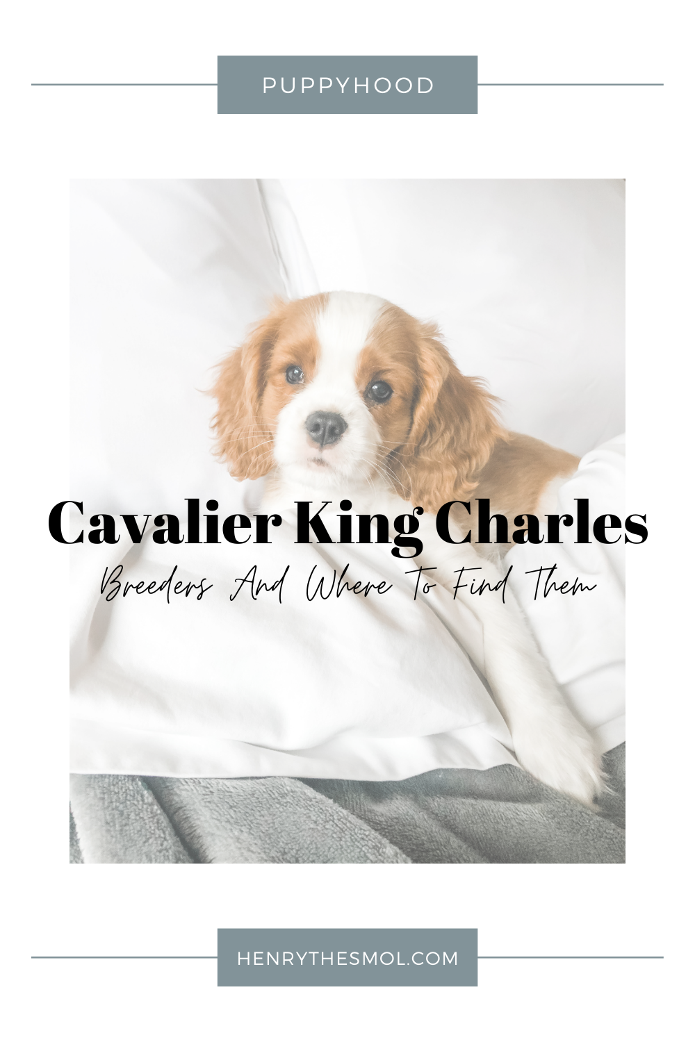 How To Find A Cavalier King Charles Spaniel Breeder
