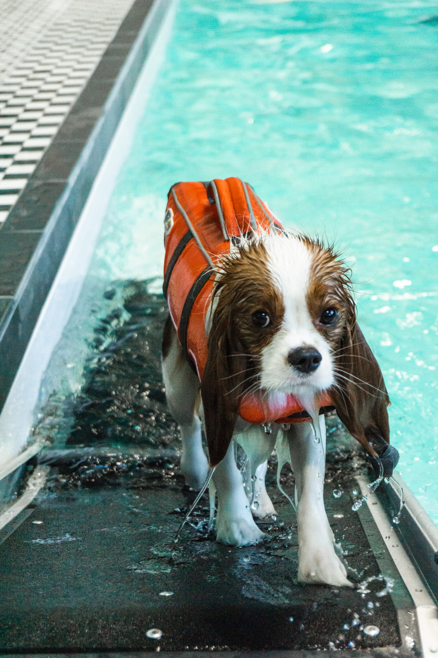 Dog getting in the pool