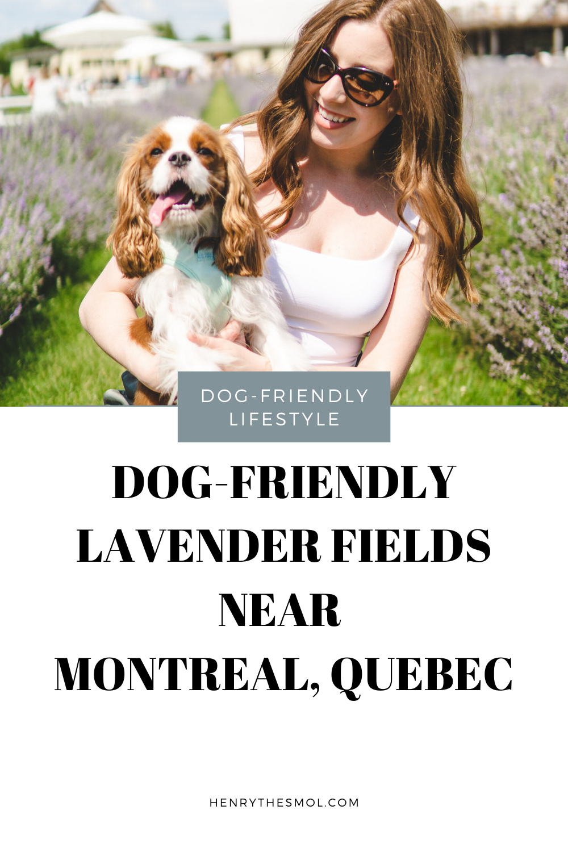 Dog-Friendly Lavender Fields near Montreal